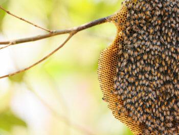 น้ำผึ้งป่า น้ำผึ้งเลี้ยง แตกต่างกันอย่างไร